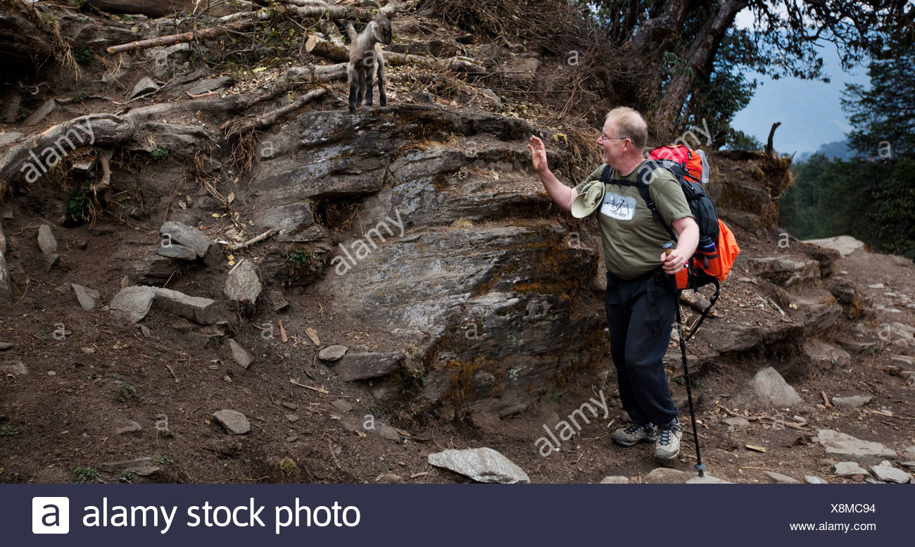 A trekker waving hello to a trail side goat in Nepal - Stock Image