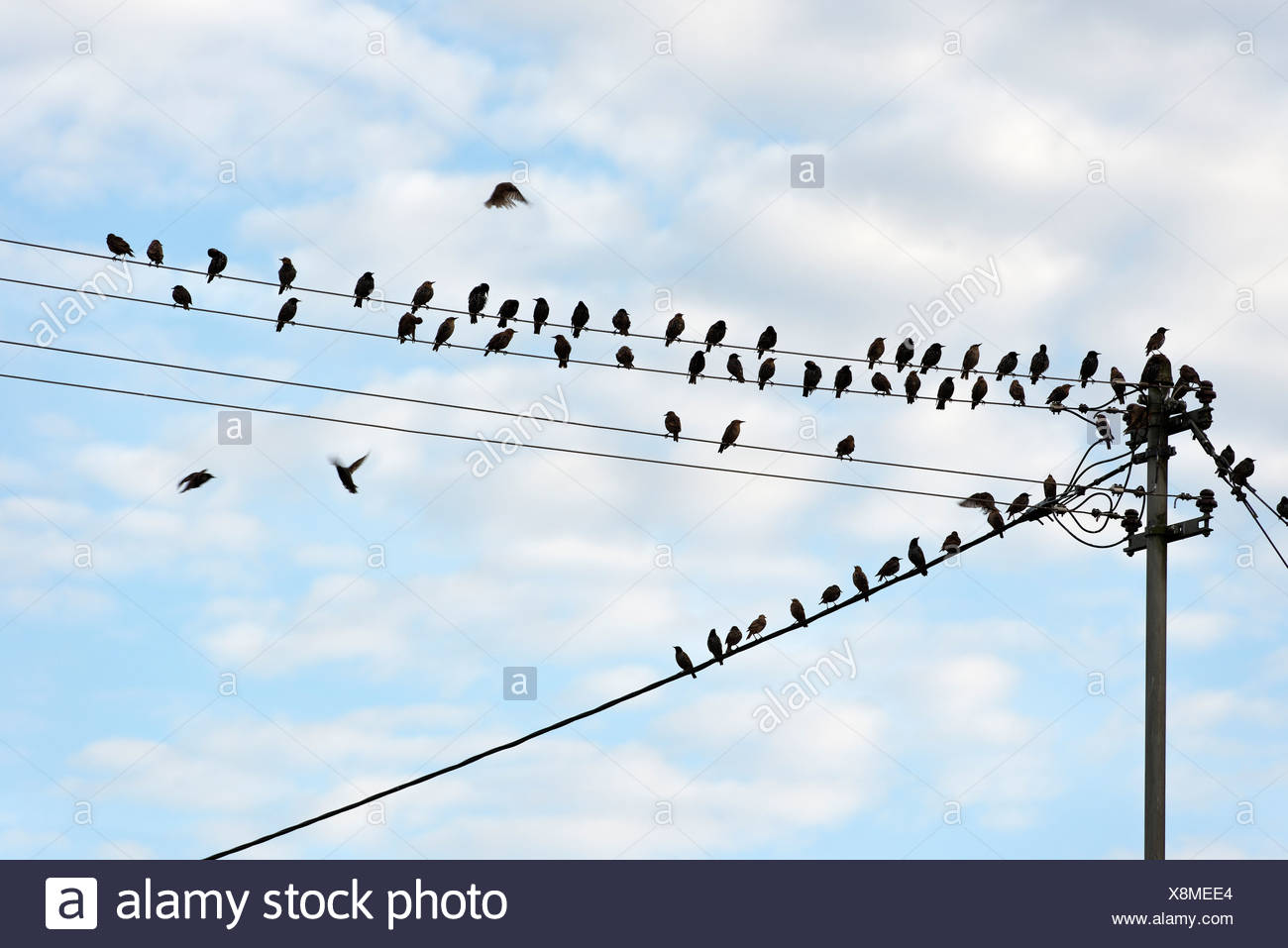 Starlings (Sturnidae) perched on a power line, Upper Bavaria, Bavaria - Stock Image