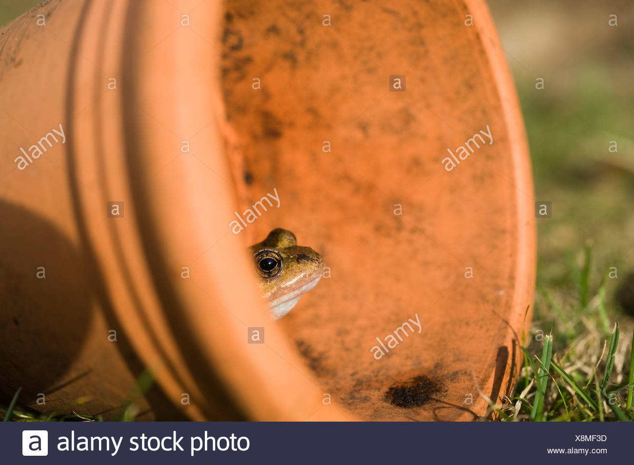 Common Frog Rana temporaria in flower pot in garden Norfolk UK autumn - Stock Image