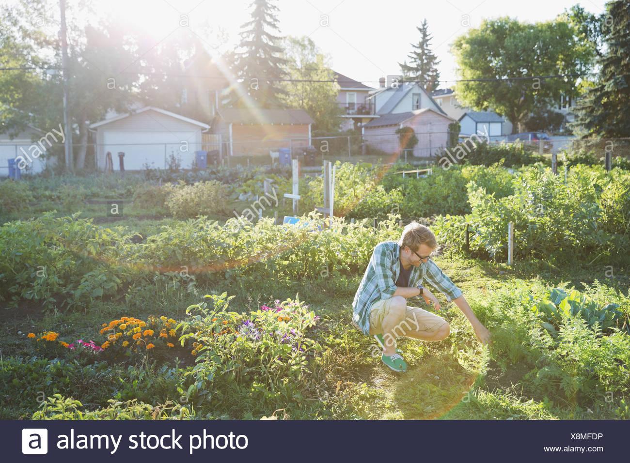 Man bent over in community garden - Stock Image