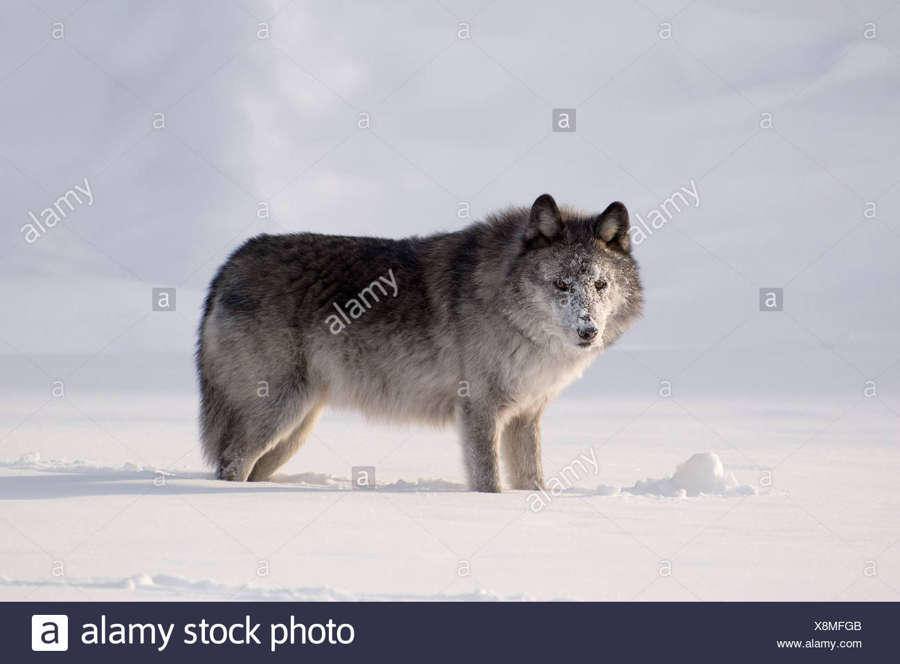 Wolf in the snow - Stock Image