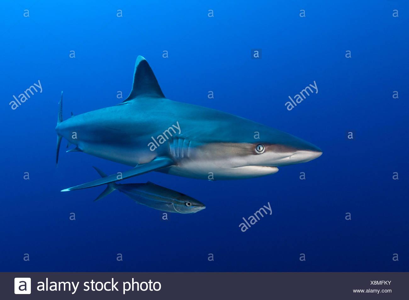 Silvertip Shark (Carcharhinus albimarginatus) wrasse, near Father Reefs, Bismark Sea, Papua New Guinea, underwater shot - Stock Image