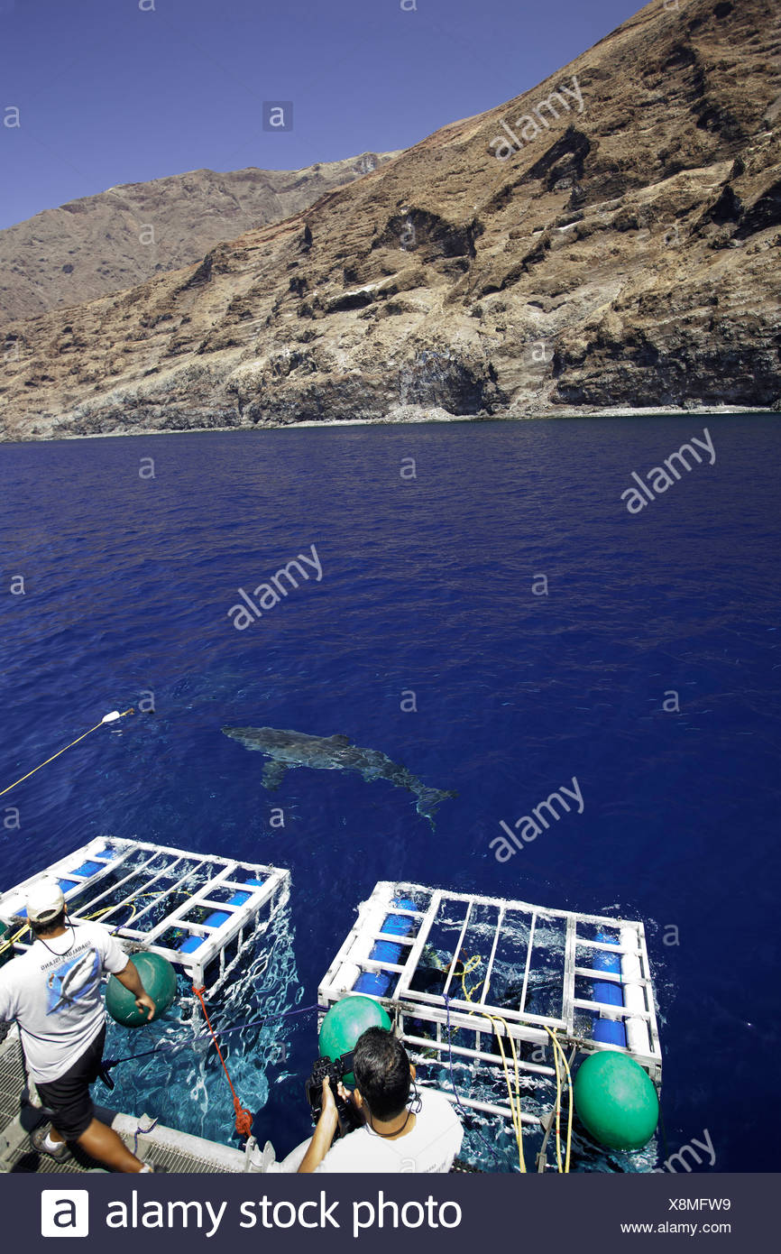 Cage diving with Great White Shark, Carcharodon carcharias, Guadalupe, Baja California, Pacific Ocean, Mexico - Stock Image
