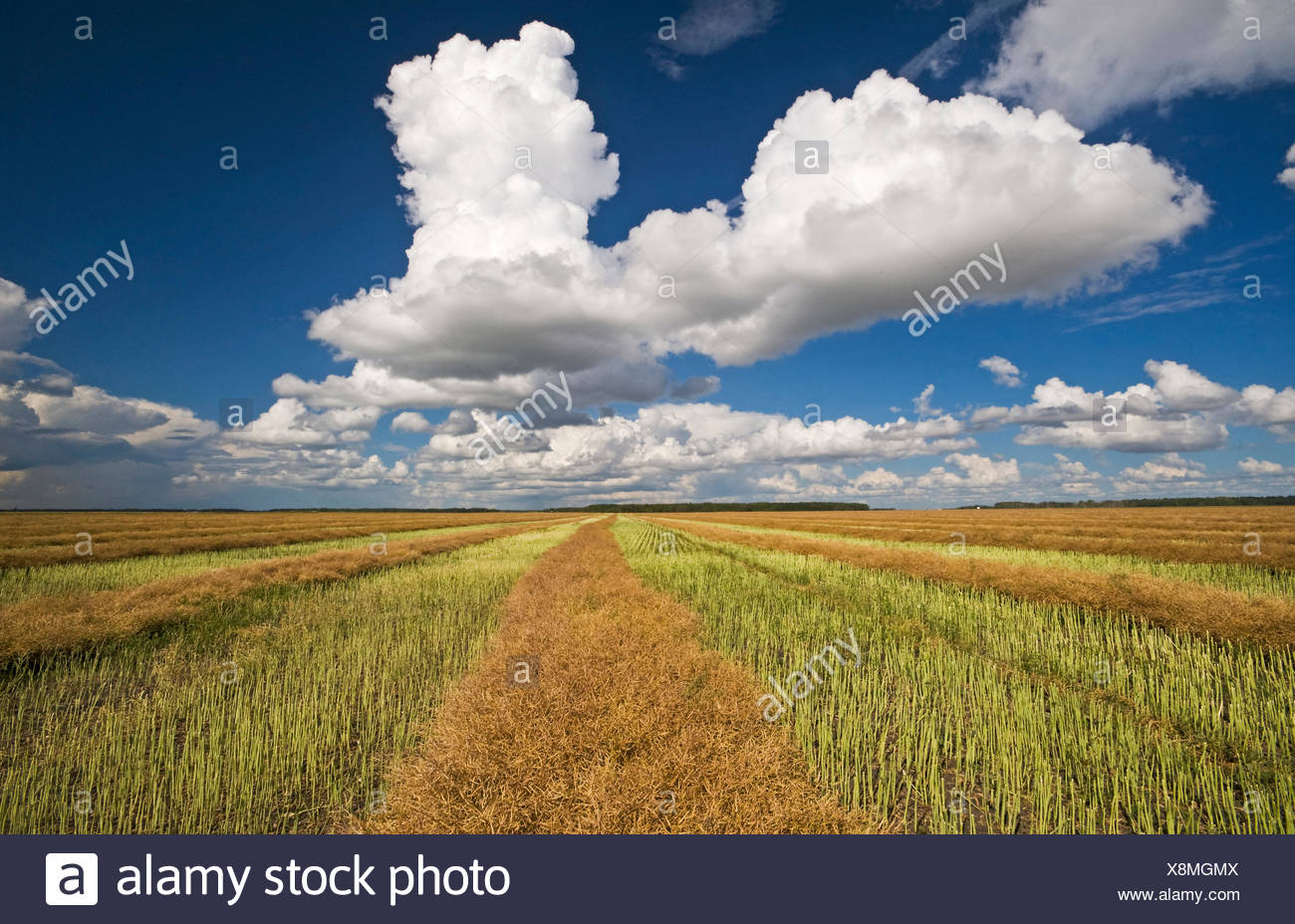 swathed, harvest ready canola with developing cumulonimbus cloud in the background, Manitoba, Canada - Stock Image