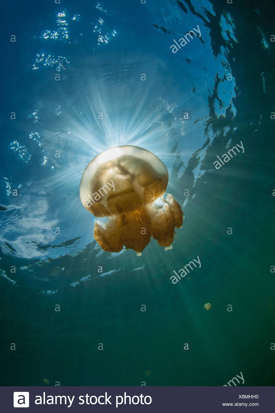 Golden jellyfish, Palau, Micronesia - Stock Image