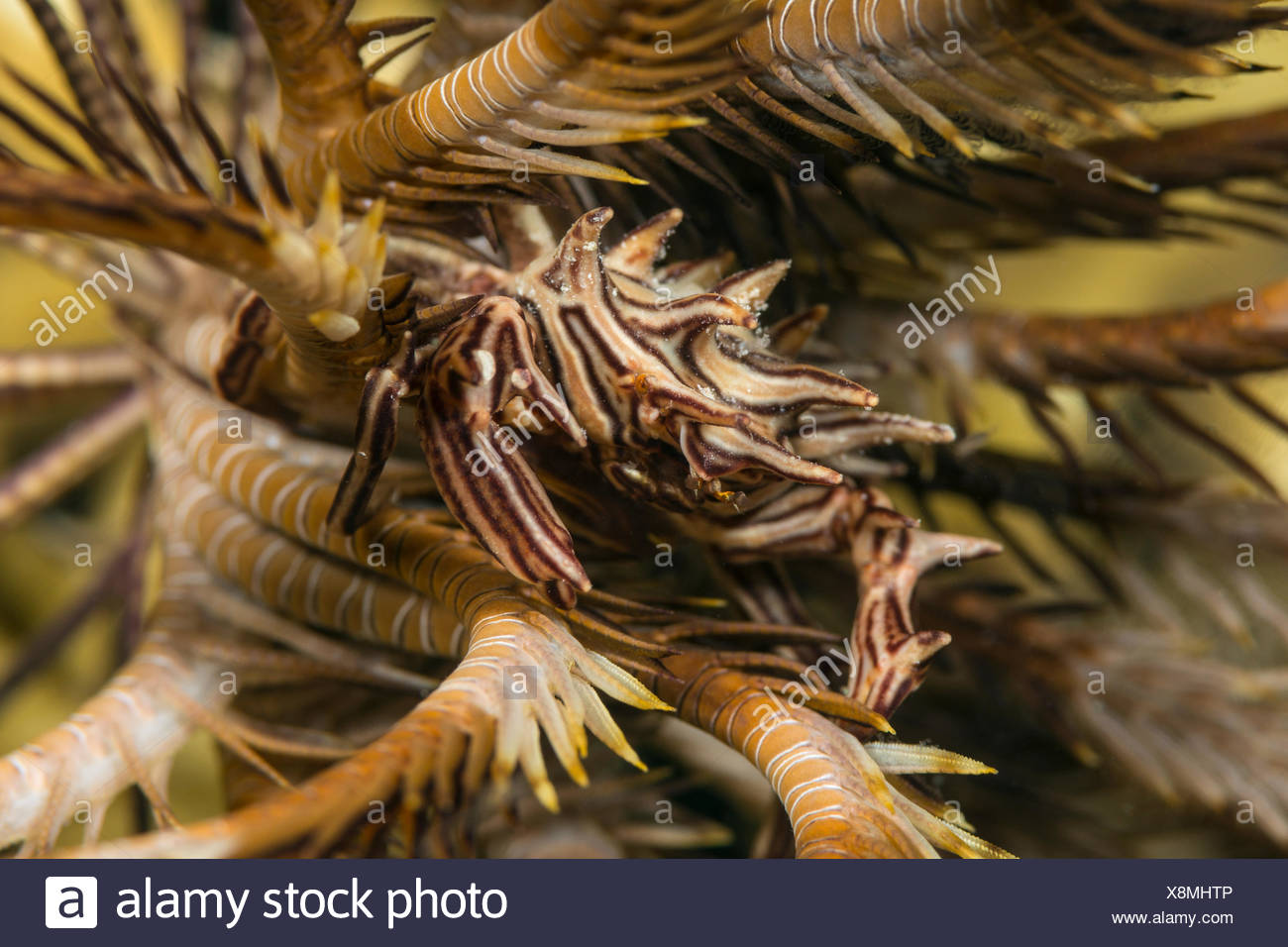 Feather Star Crab, Tiaramedon spinosus, Marsa Alam, Red Sea, Egypt - Stock Image