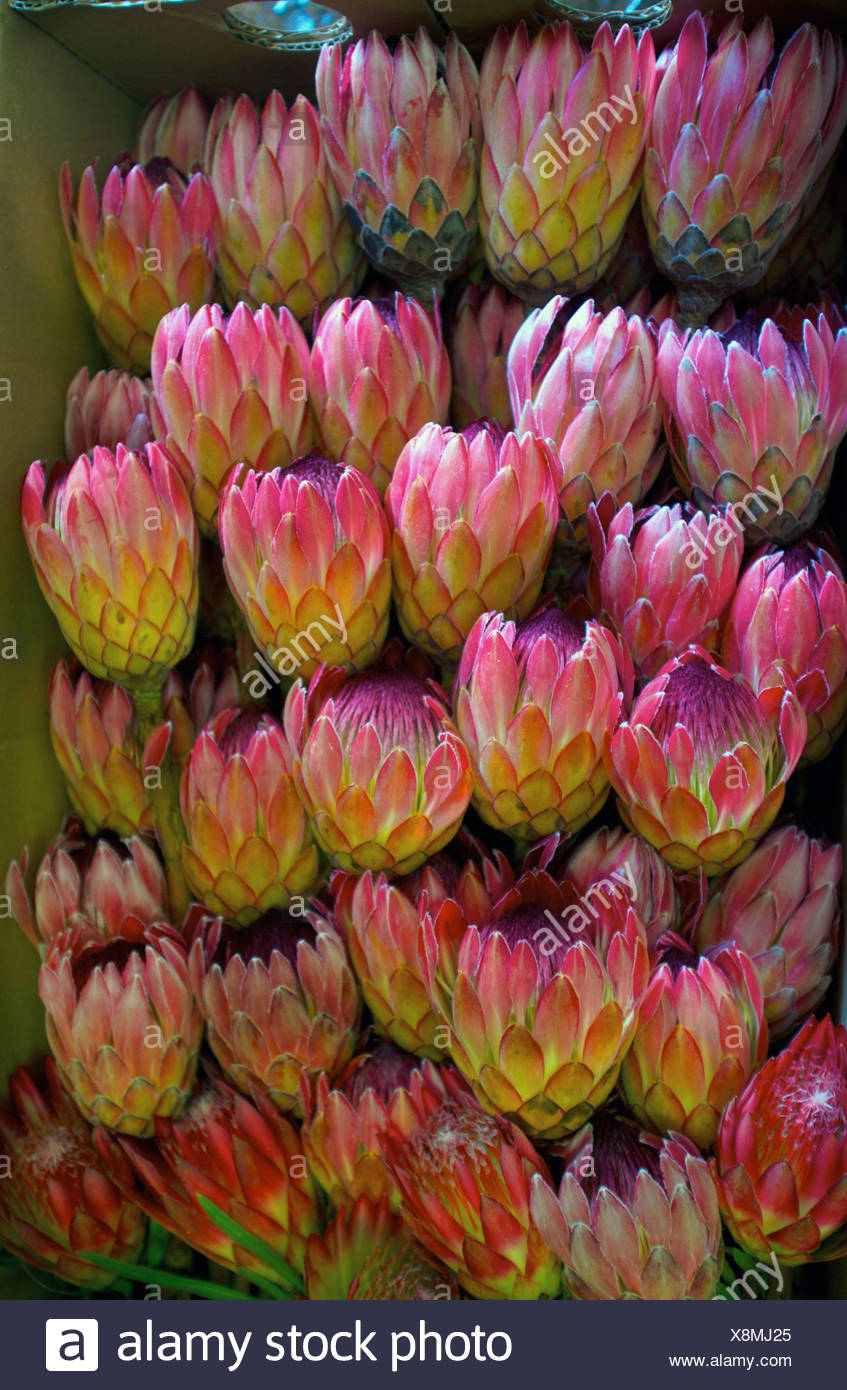 Protea  hybrid, called Sylvia, boxed and ready for export. Howick, South Africa - Stock Image