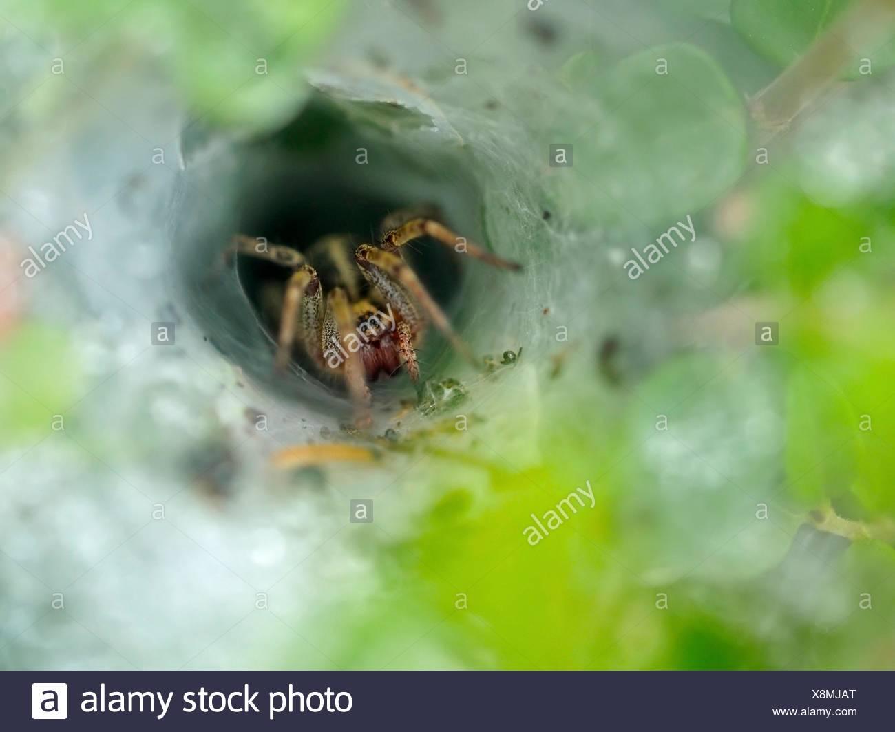 Spider at its web. Asturias autonomous community. Spain. - Stock Image