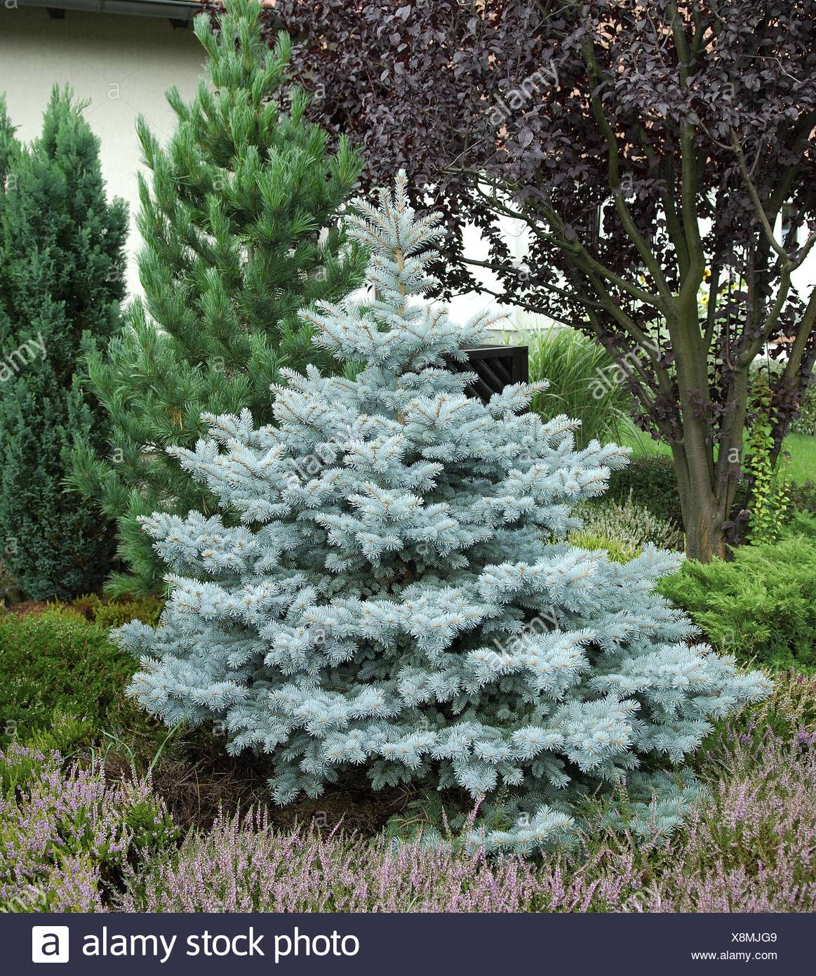 Colorado blue spruce (Picea pungens 'Koster', Picea pungens Koster), cultivar Koster - Stock Image