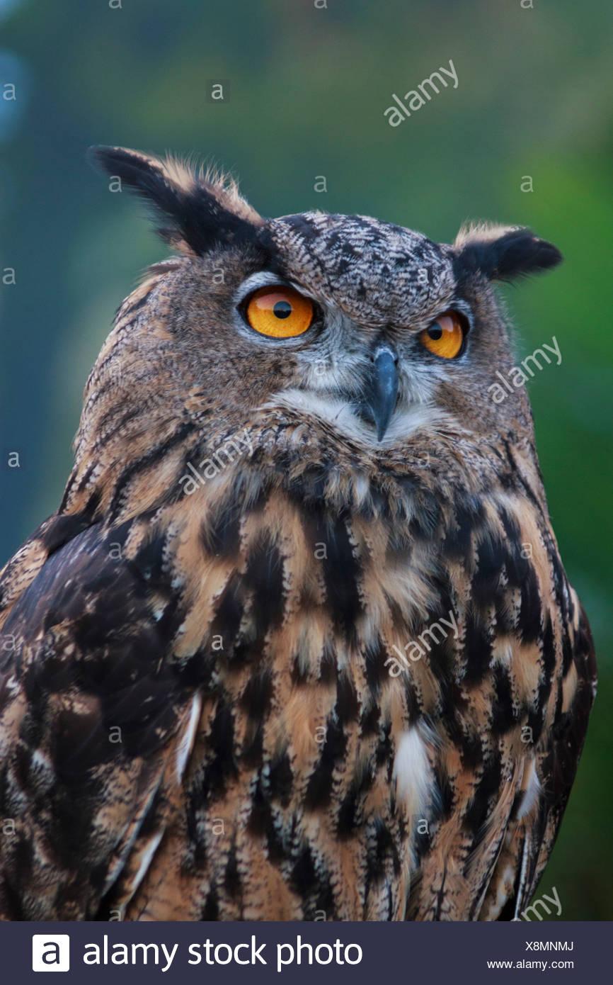 birds of prey, bird, Blackland Prairie Raptor Center, Bubo virginianus, Great Horned Owl, owl, Hunter, Strigidae, Texas, Tiger O - Stock Image