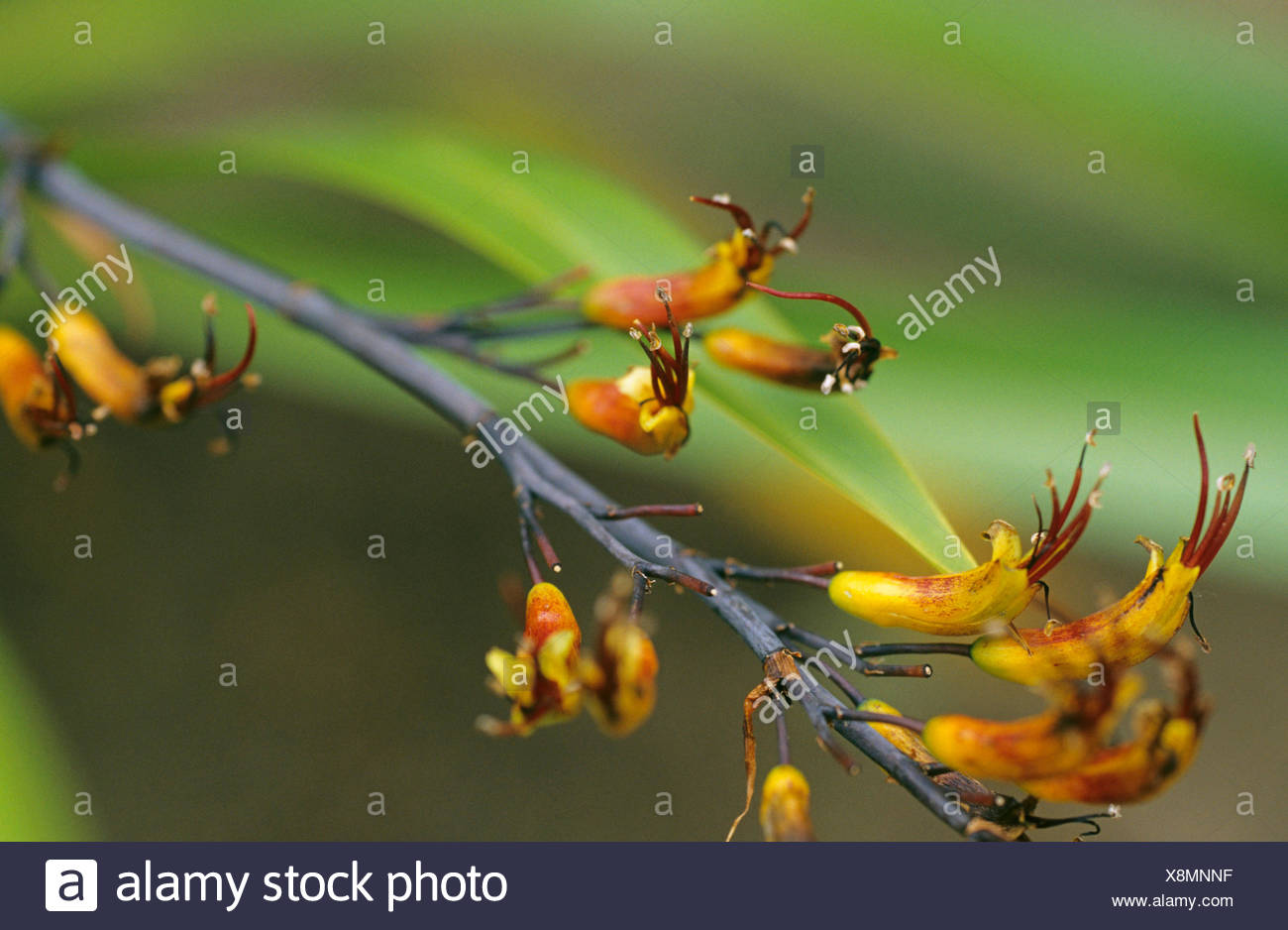 Phormium (Phormium cookianum), inflorescence Stock Photo