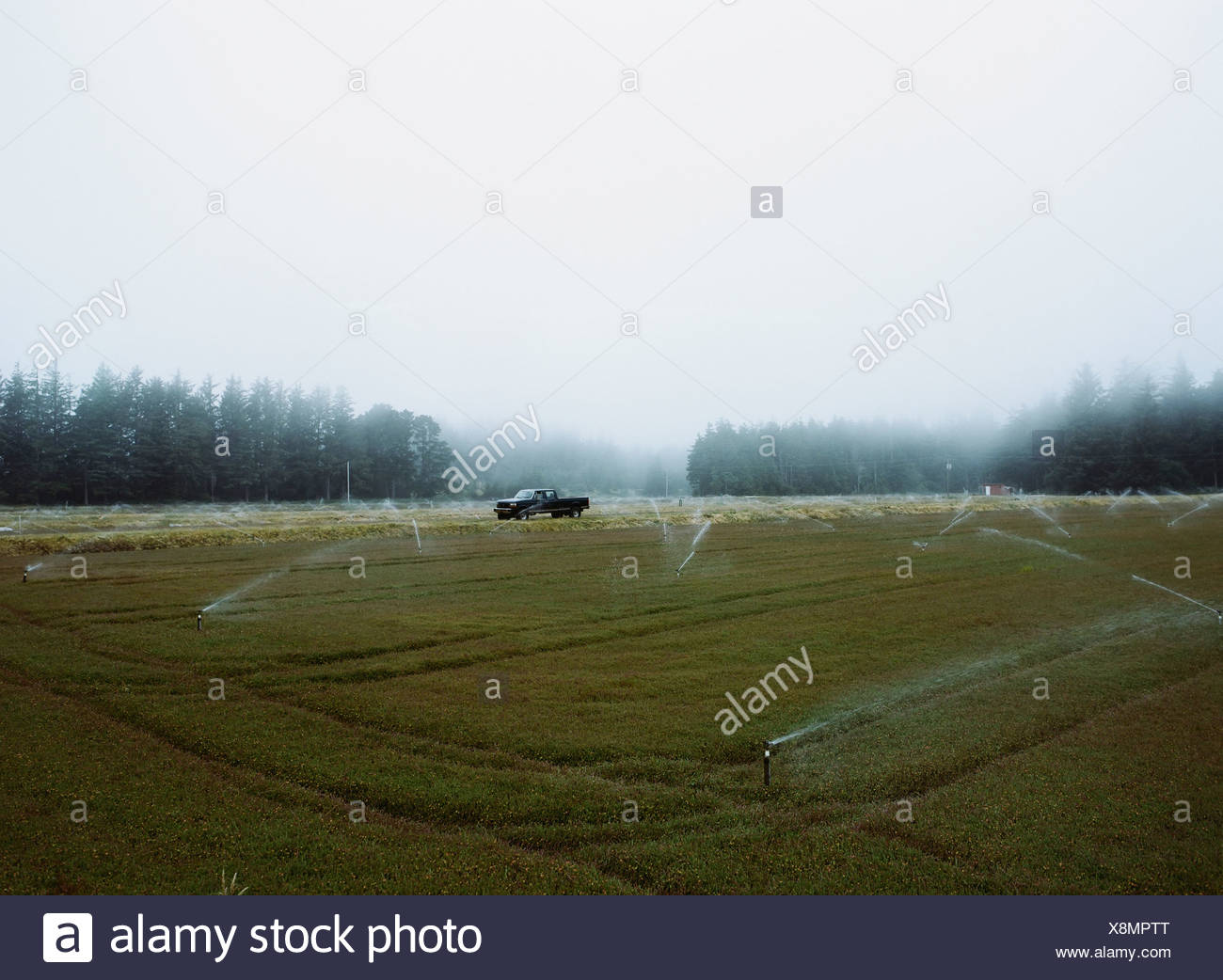 A cranberry farm in Massachusetts The crops growing in the fields - Stock Image