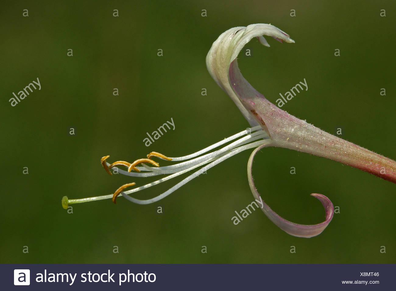 detail (zijaanzicht) van een bloem met ver uitstekende meeldraden en nog verder uitstekende stamper - Stock Image