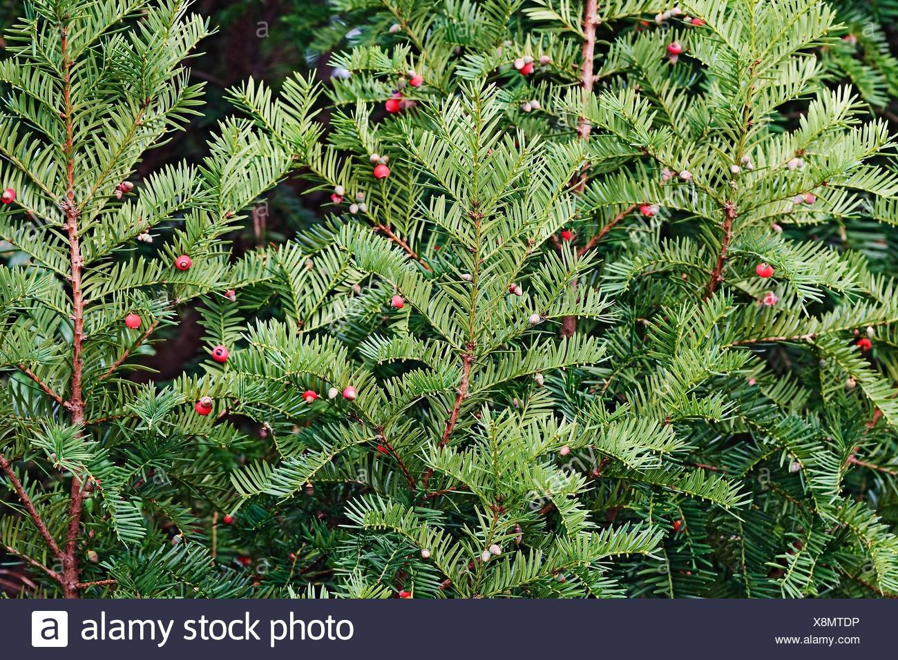English jew (Taxus baccata). Called European jew also. Virginia, United States. - Stock Image