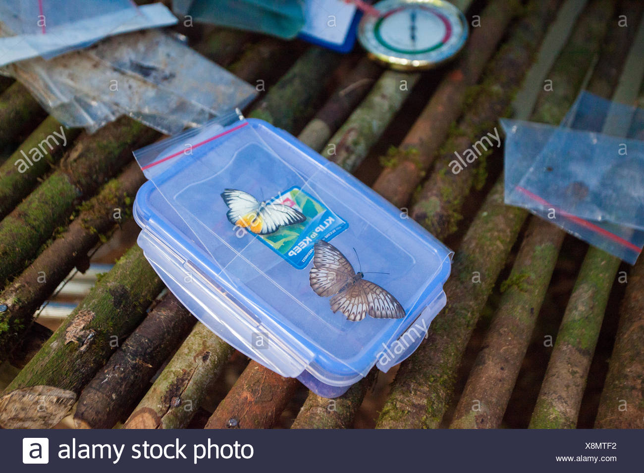 Butterfly specimens in plastic bags at a research field camp in Gunung Bondang Mountain. - Stock Image