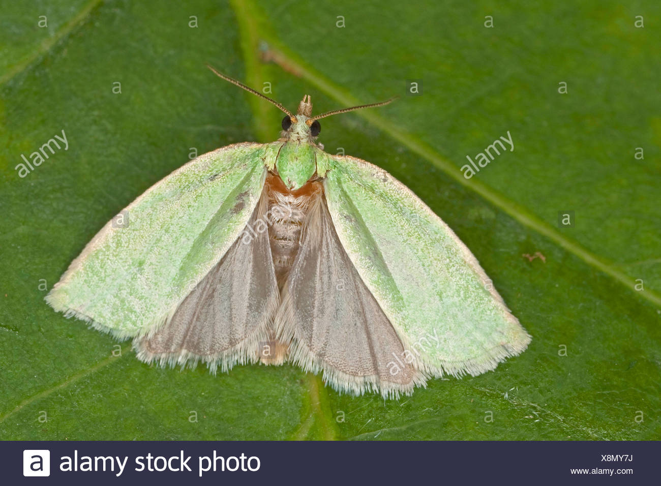 pea-green oak curl, green oak tortrix, oak leafroller, green oak roller, oak tortrix (Tortrix viridana), sitting on a leaf , Germany - Stock Image