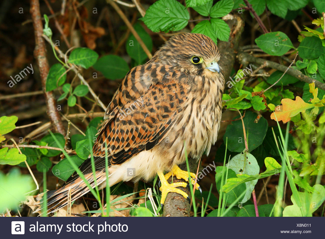 Young Common Kestrel (Falco tinnunculus) Stock Photo