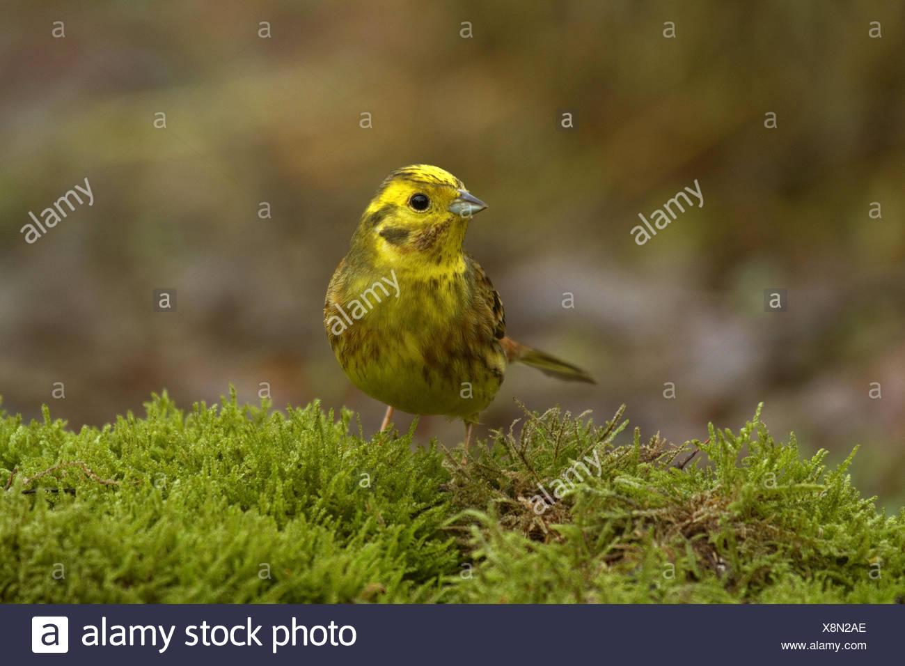 yellowhammer (Emberiza citrinella), sitting on moss, Germany - Stock Image