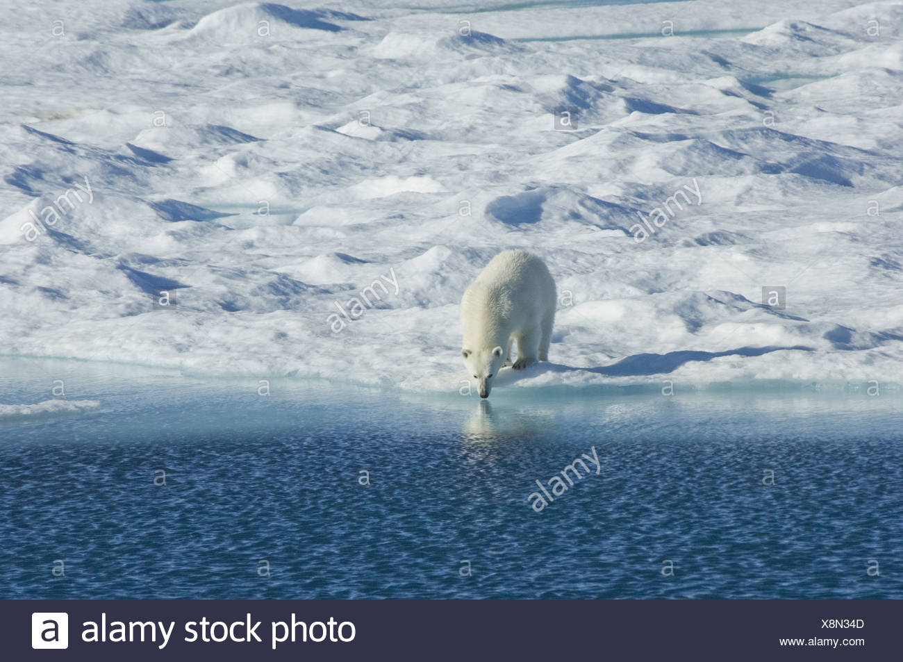Polar bear in the wild A powerful predator and a vulnerable or potentially endangered species - Stock Image