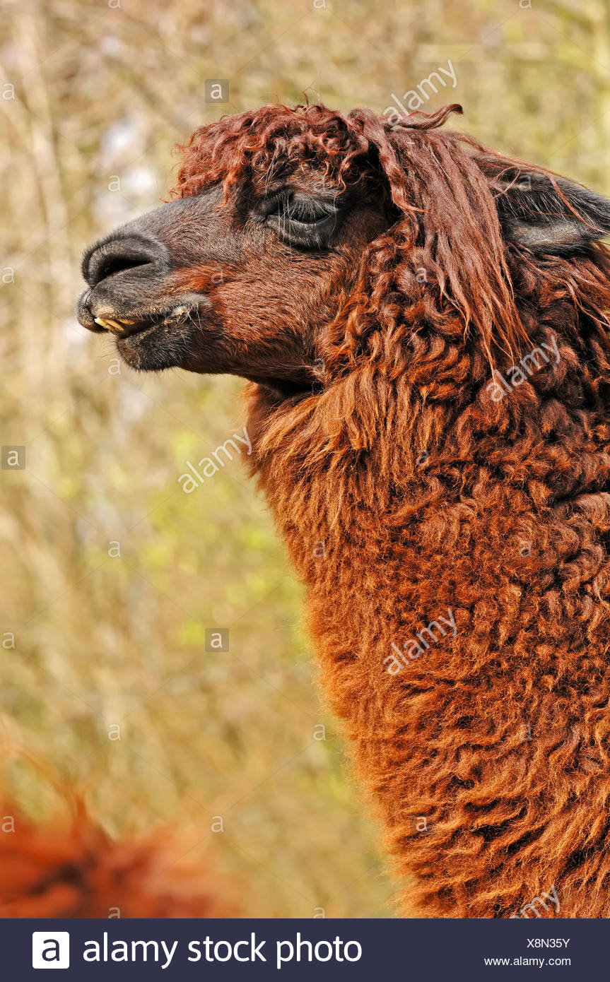 Alpaca (Lama pacos, Vicugna pacos), native to South America, in captivity, the Netherlands - Stock Image