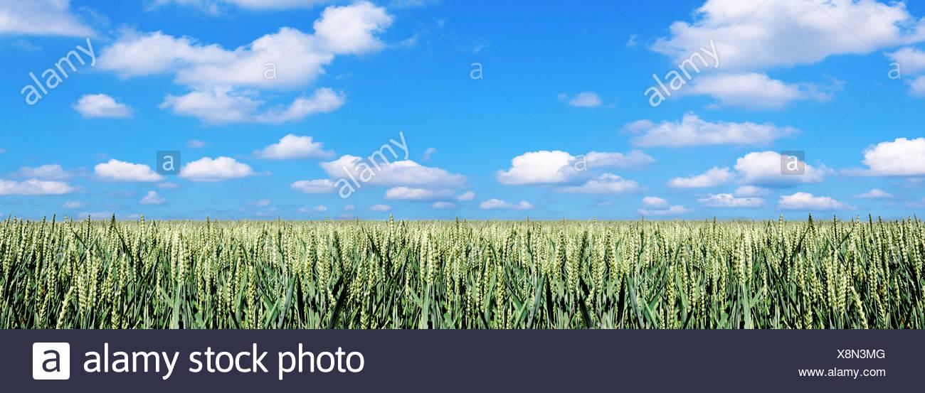 Wheat field Kansas USA. - Stock Image