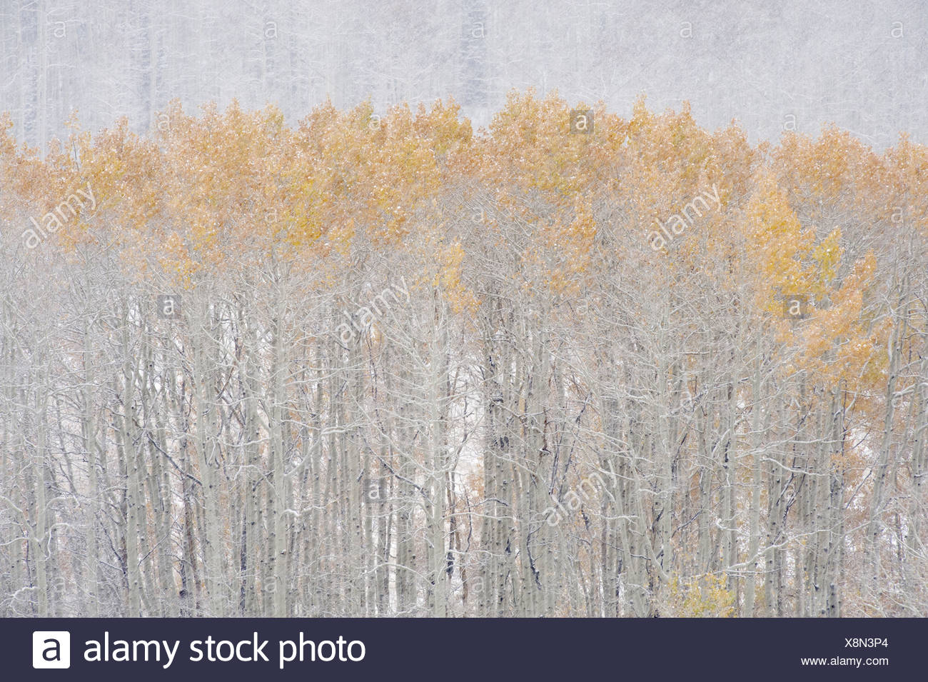 Aspen trees in autumn during snow fall The Wasatch Mountains in Utah - Stock Image