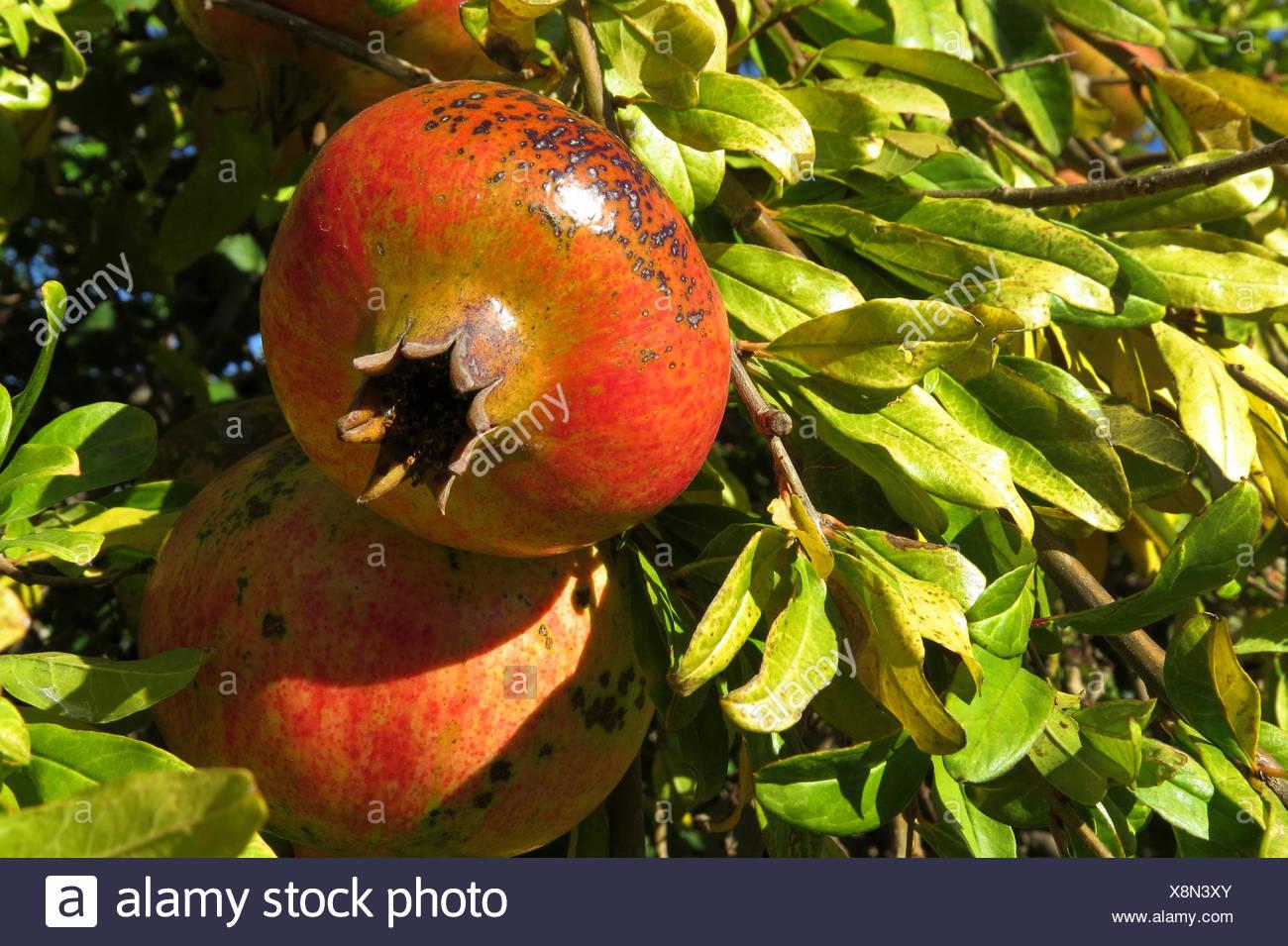 Granatapfel, Granat-Apfel (Punica granatum), Granataepfel am Baum, Spanien | pomegranate, anar (Punica granatum), fruits on a tr - Stock Image