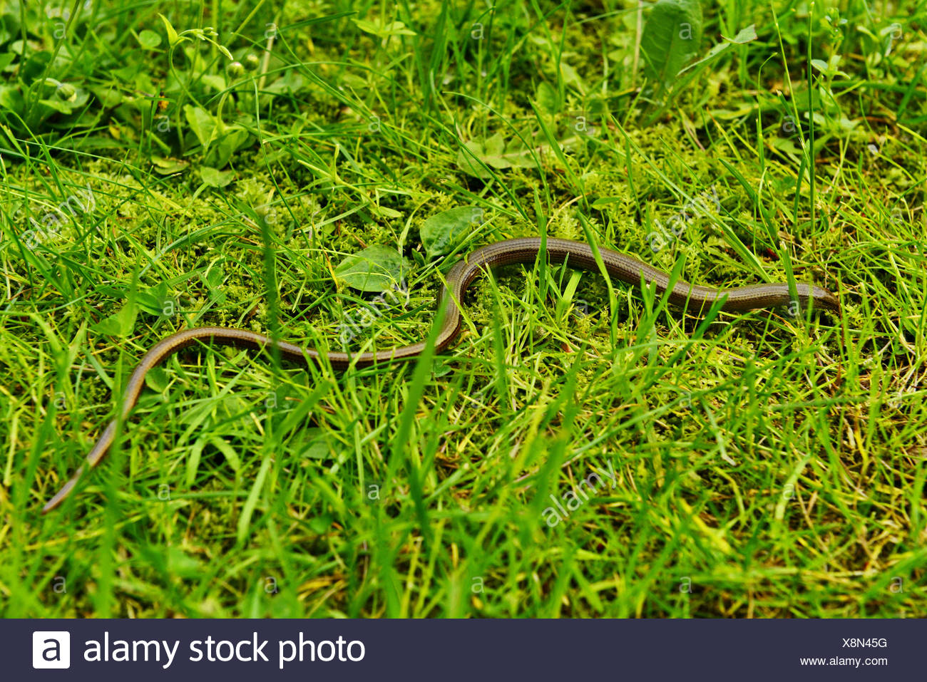Blindworm in the grass Stock Photo