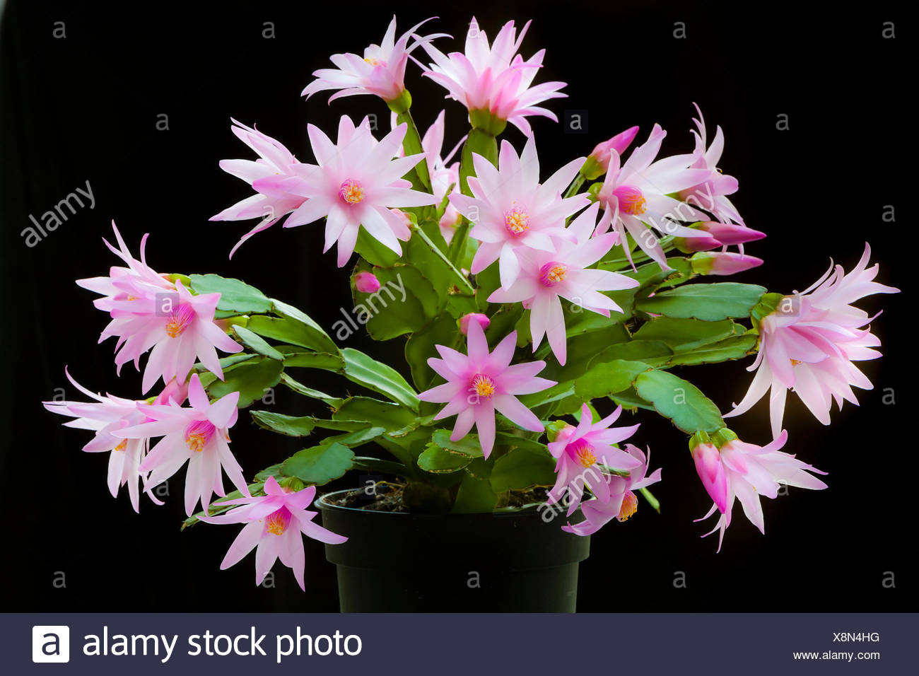 Black flower centre stamen stock photos black flower centre stamen rose easter cactus rhipsalidopsis rosea a plant in a black pot covered with mightylinksfo