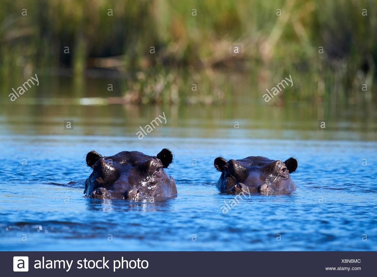 Hippopotamus (Hippopotamus amphibius) submerged in water. Moremi National Park, Okavango delta, Botswana, Southern Africa. - Stock Image