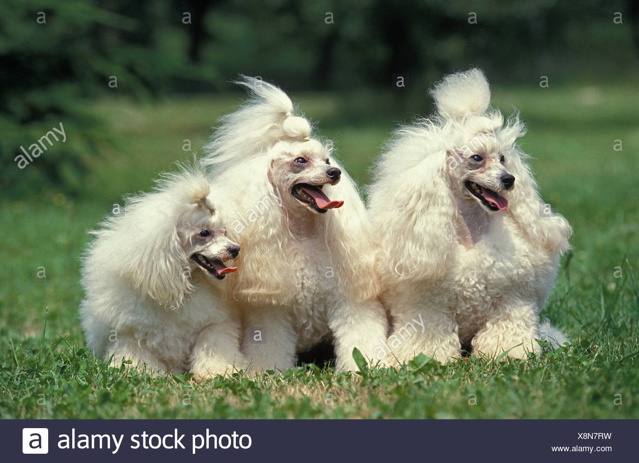 White Miniature Poodle dog Sitting on Grass - Stock Image