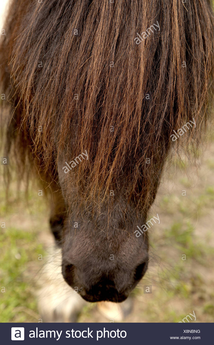 Horse's head, mane, detail, horse, portrait, cropped, brown, side view, animal, small, close-up, farm animal, red-brown, pony, breed, horse breed, close-up, - Stock Image