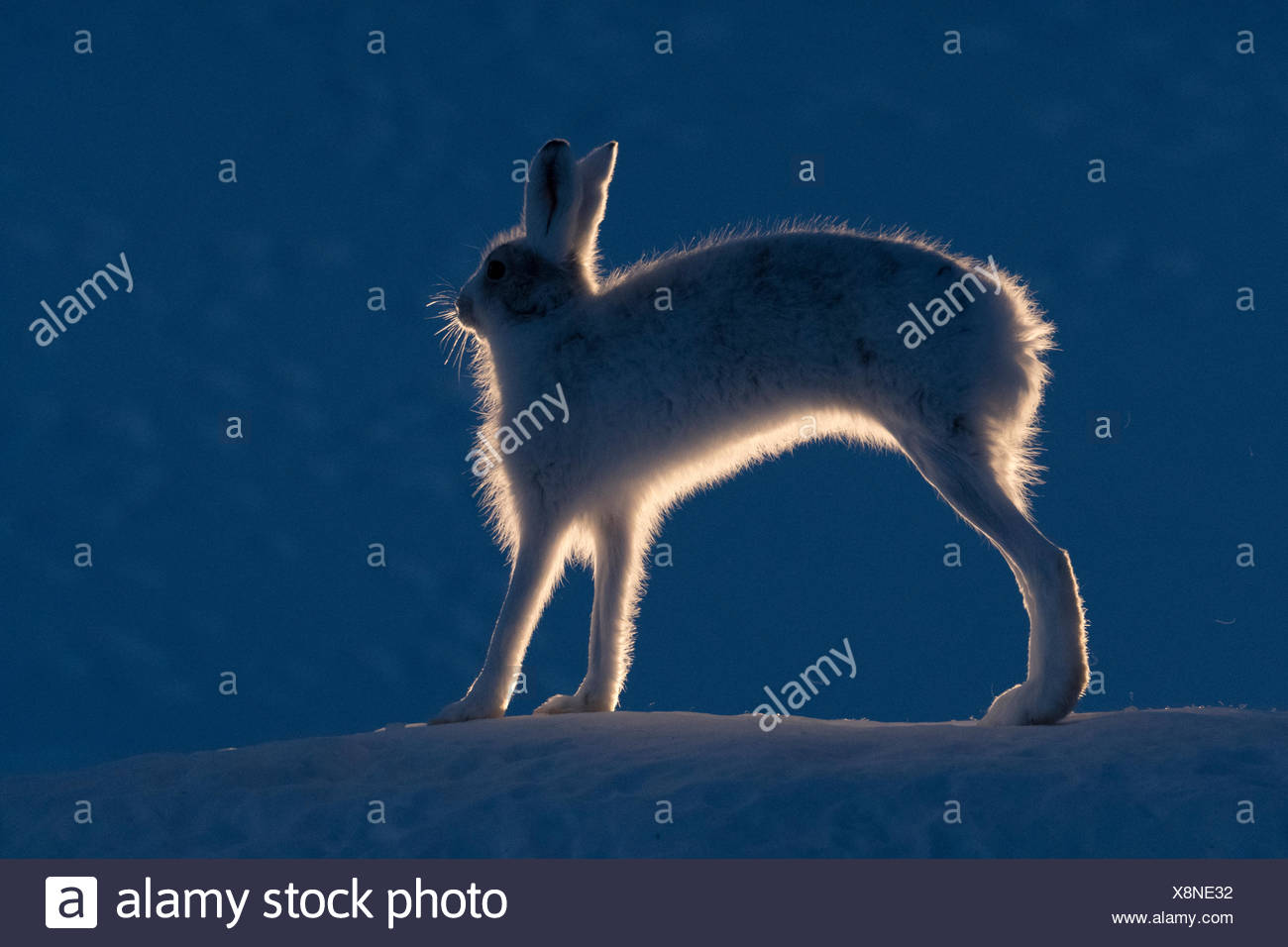 Mountain hare, Lepus timidus, stretching its legs. - Stock Image