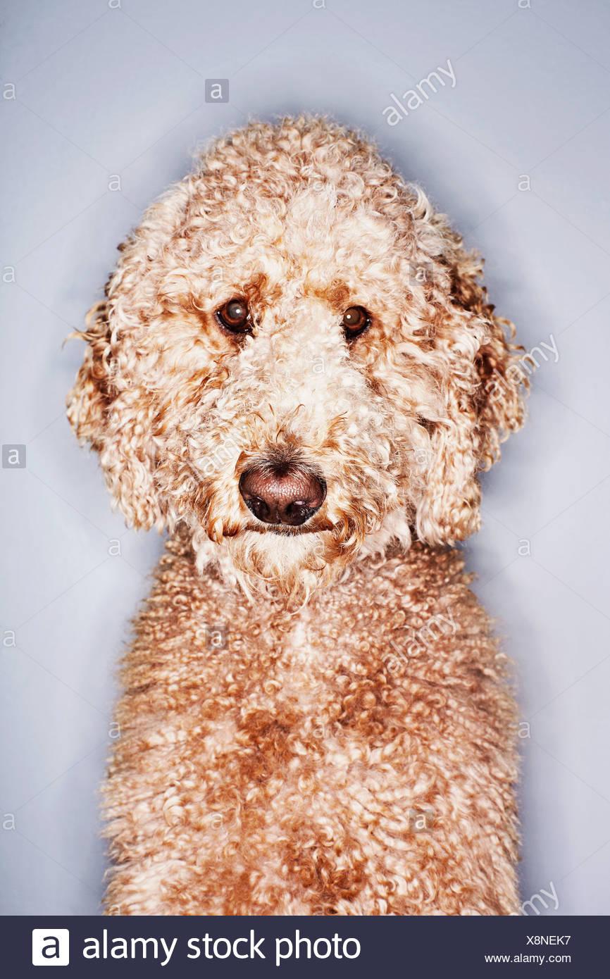 Portrait of a poodle - Stock Image