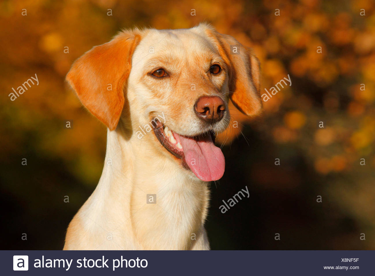 mixed breed dog (Canis lupus f. familiaris), Labrador Magyar Vizsla mixed breed dog with tongue hanging out, portrait, Germany - Stock Image