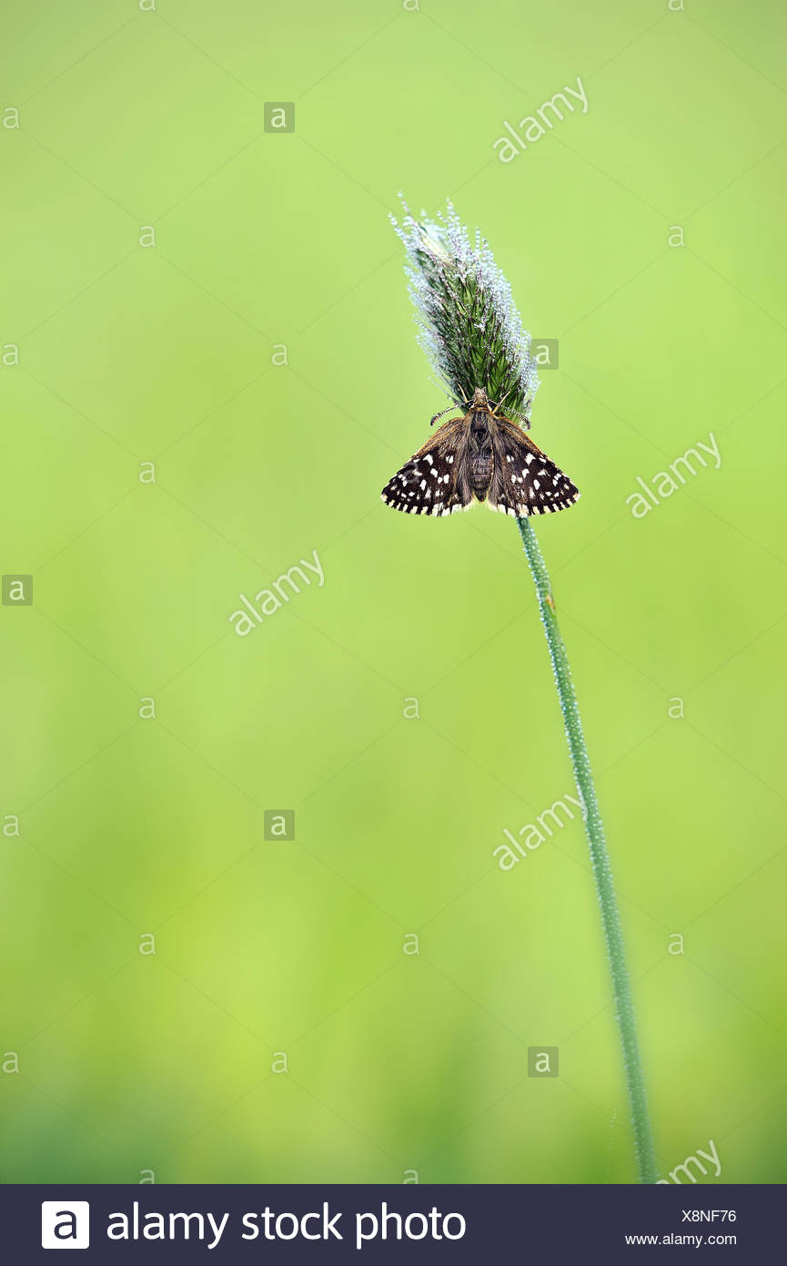 grizzled skipper open - Stock Image