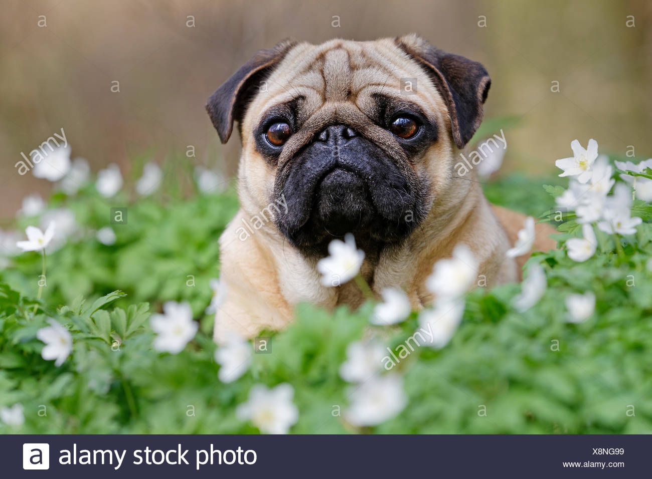Pug lying in meadow with wood anemones, Schleswig-Holstein, Germany Stock Photo