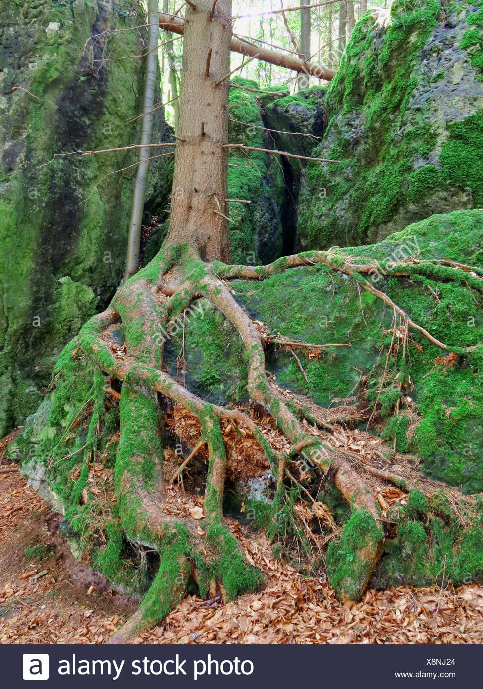 Wood, Forest, roots, rhizome, beech, moss, autumn, detail, tree, foliage - Stock Image