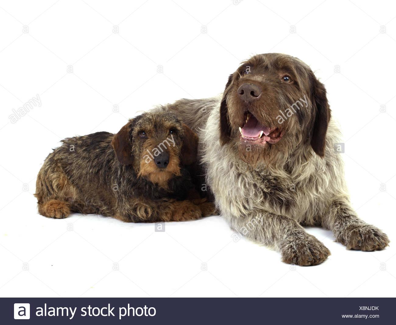 Hunting dog breeds - Stock Image