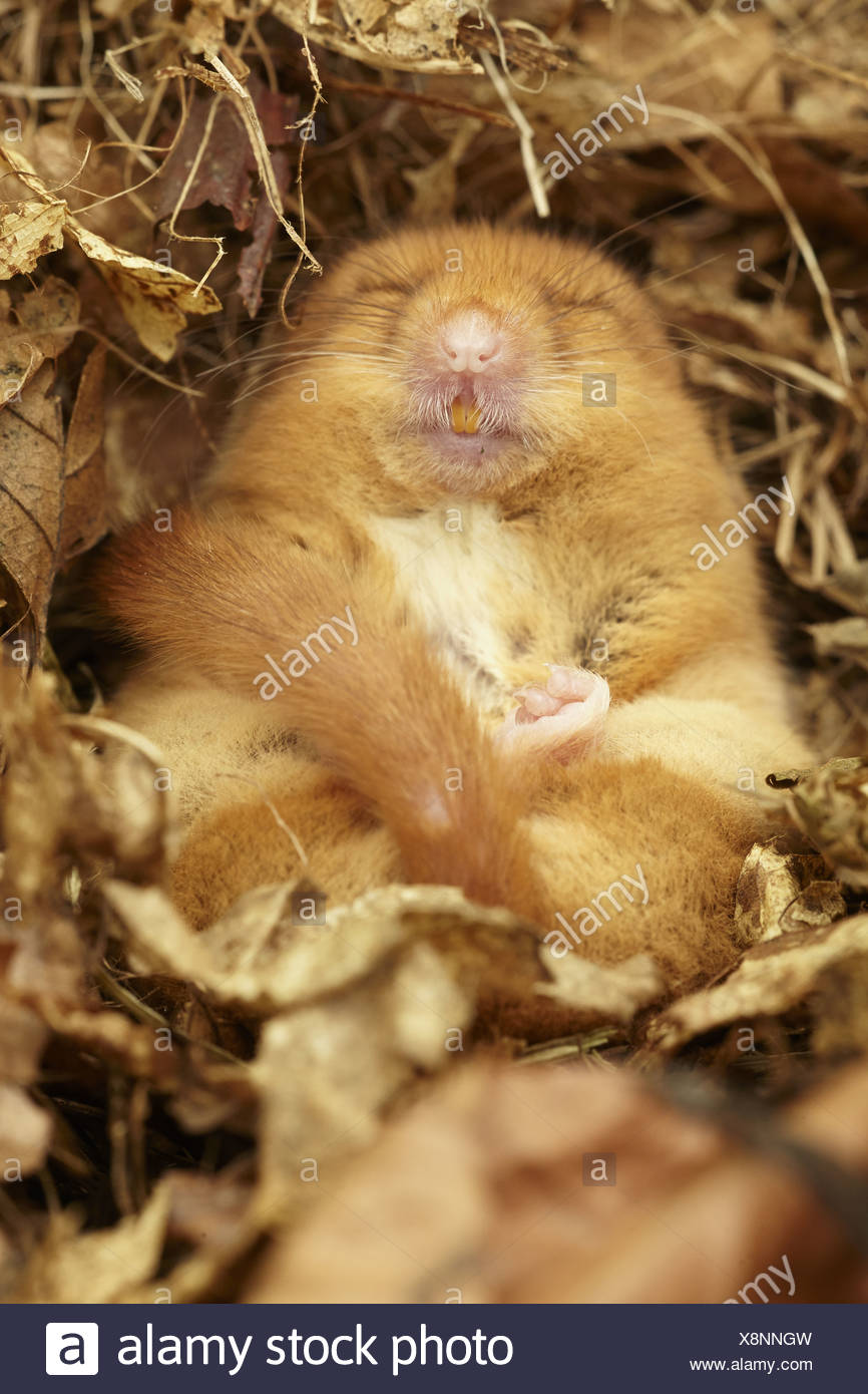 Hazel Dormouse (Muscardinus avellanarius) adult hibernating in nest part of re-introduction breeding programme Kent England - Stock Image