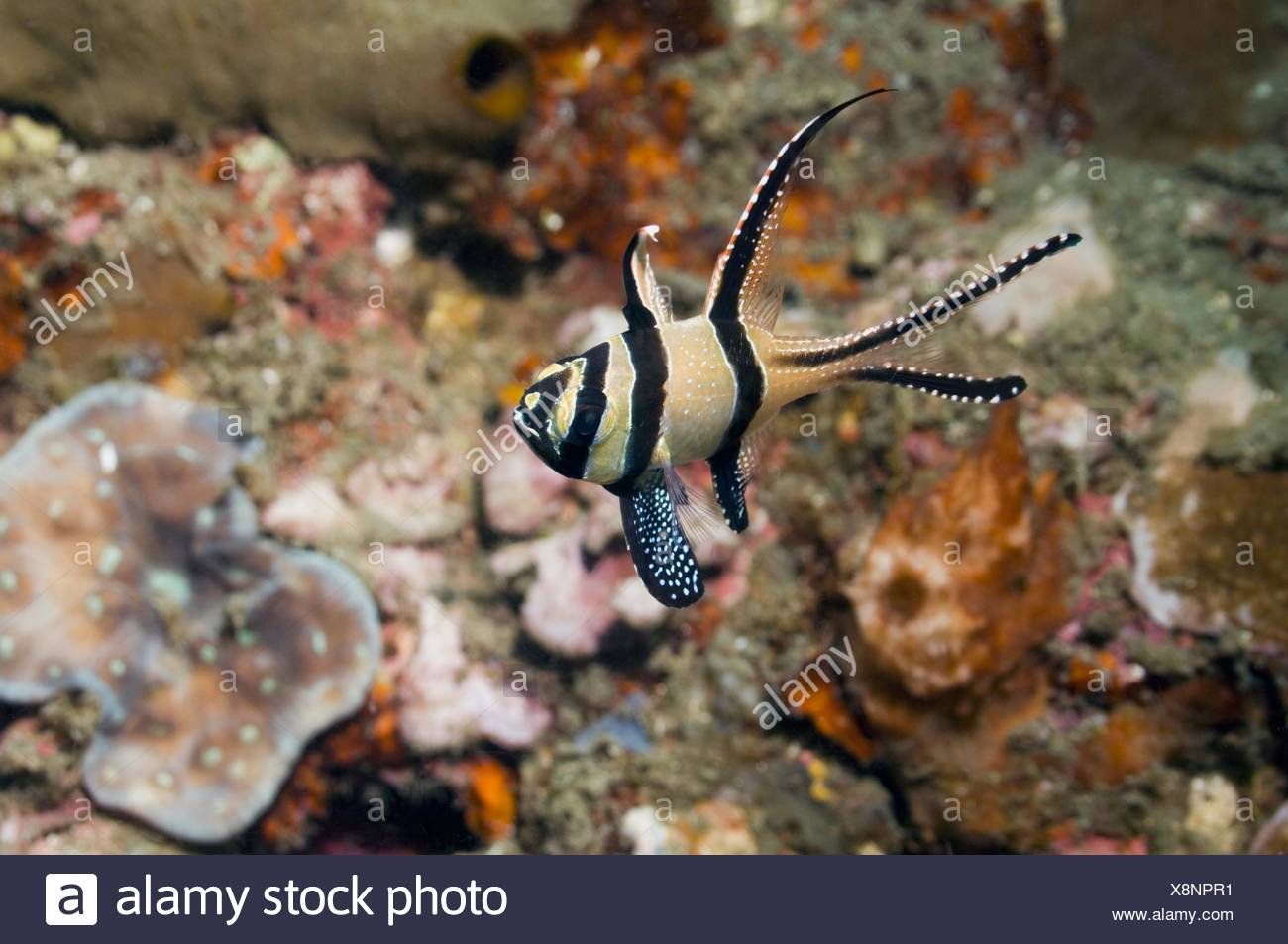 Banggai cardinalfish Pterapogon kauderni  Until recently only known from the Banggai Islands, central-east Sulawesi, but now - Stock Image