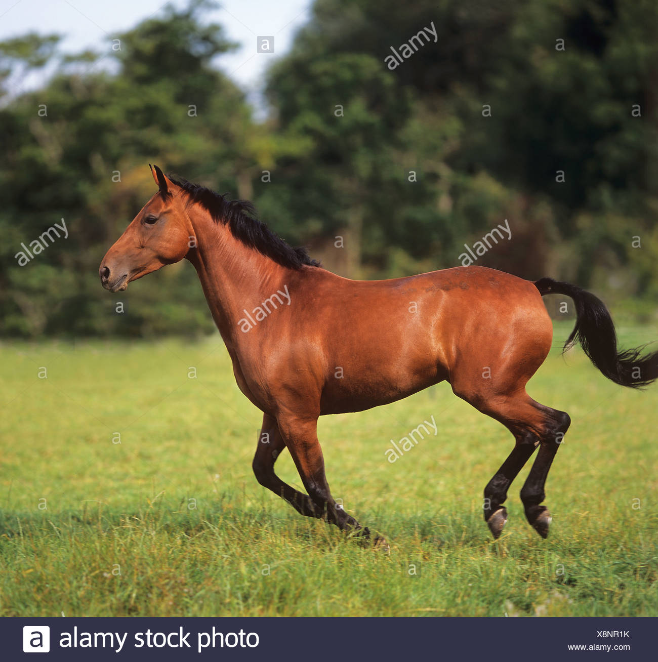 Dutch endotherm horse galloping on meadow - Stock Image