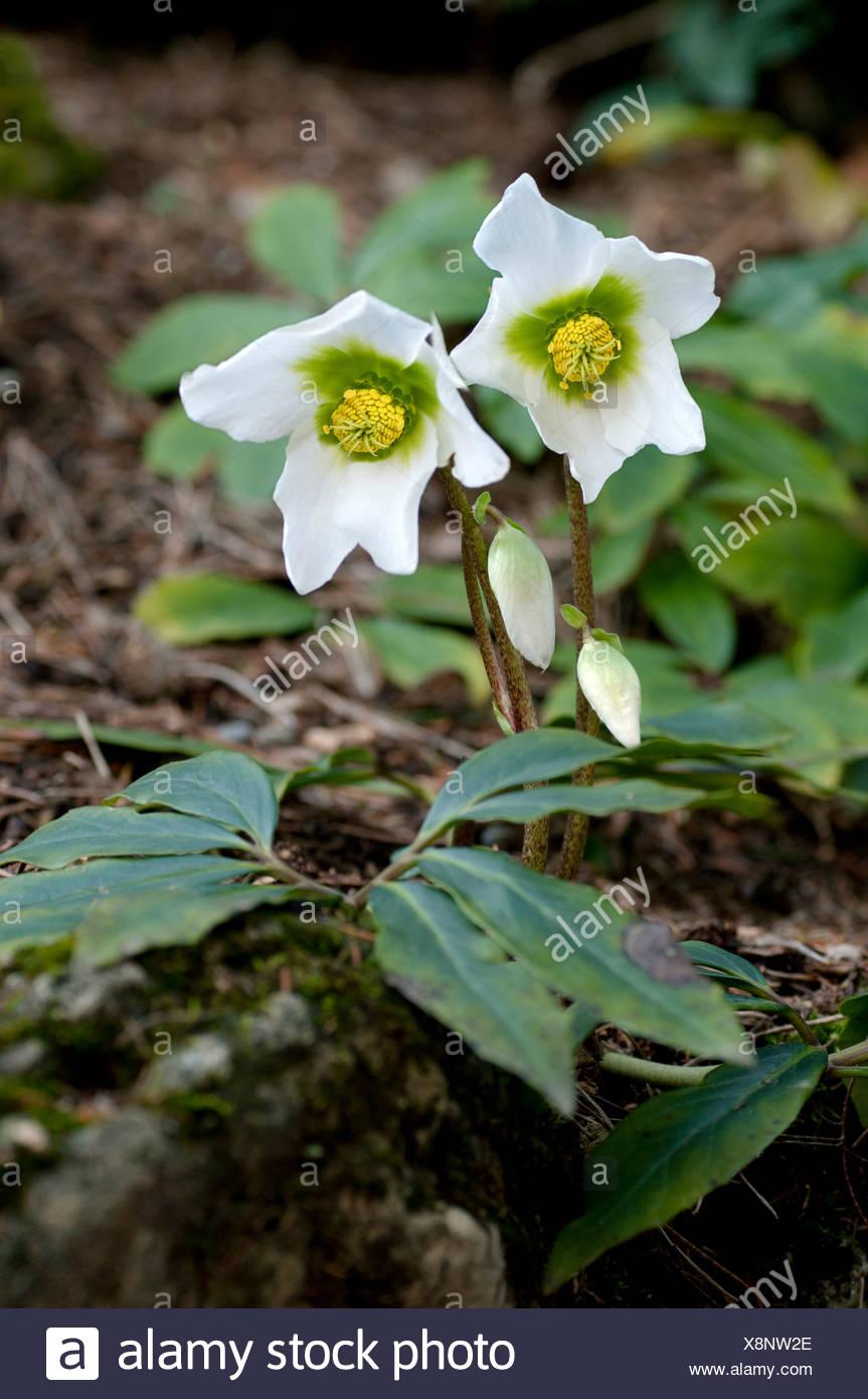 Christmas Roses or Black Hellebore (Helleborus niger) blooming in winter, Geneva, Genf, Switzerland Stock Photo