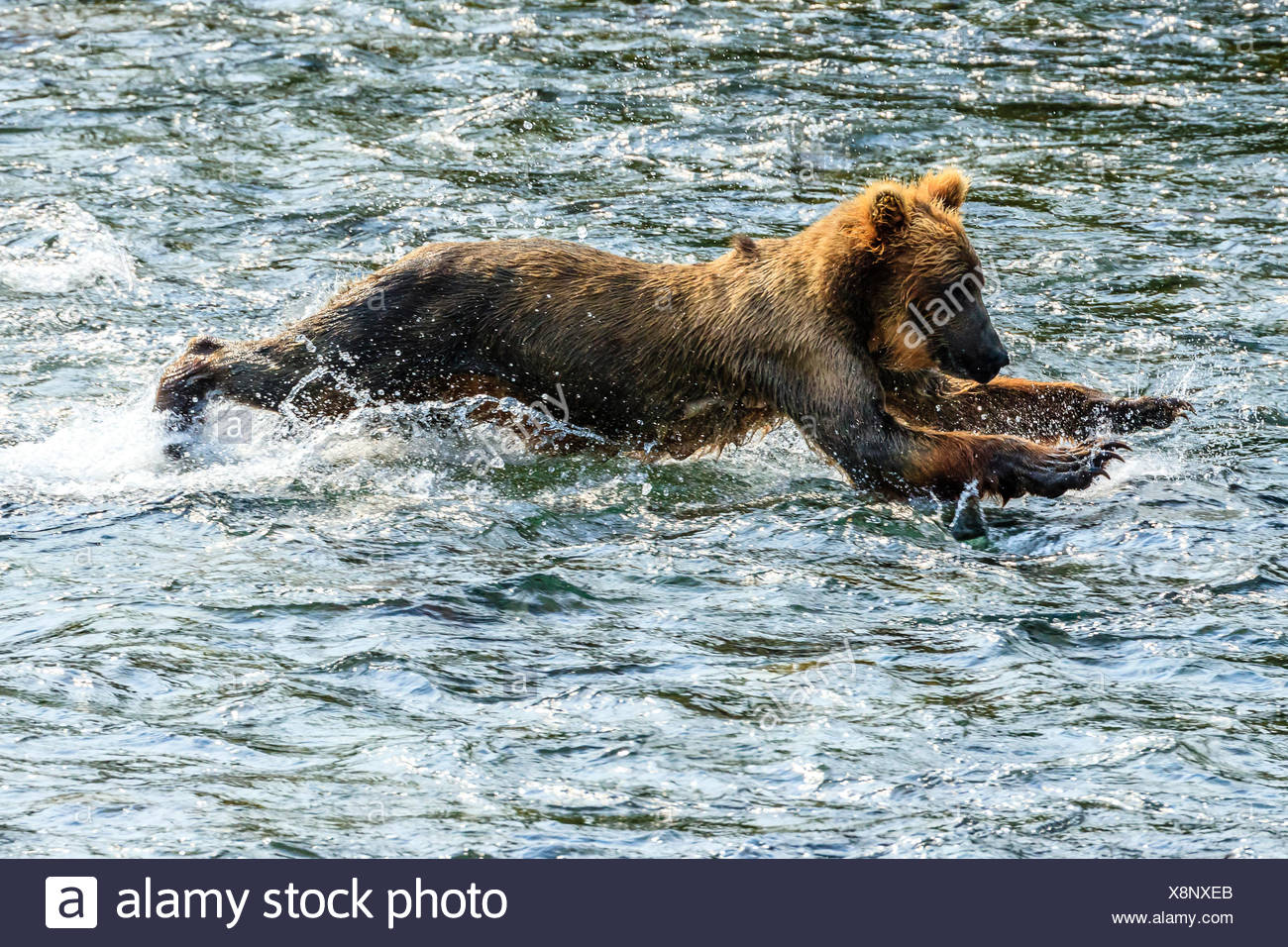 Yearling brown bear, Ursus arctos, fishing for salmon below Brooks Falls. - Stock Image