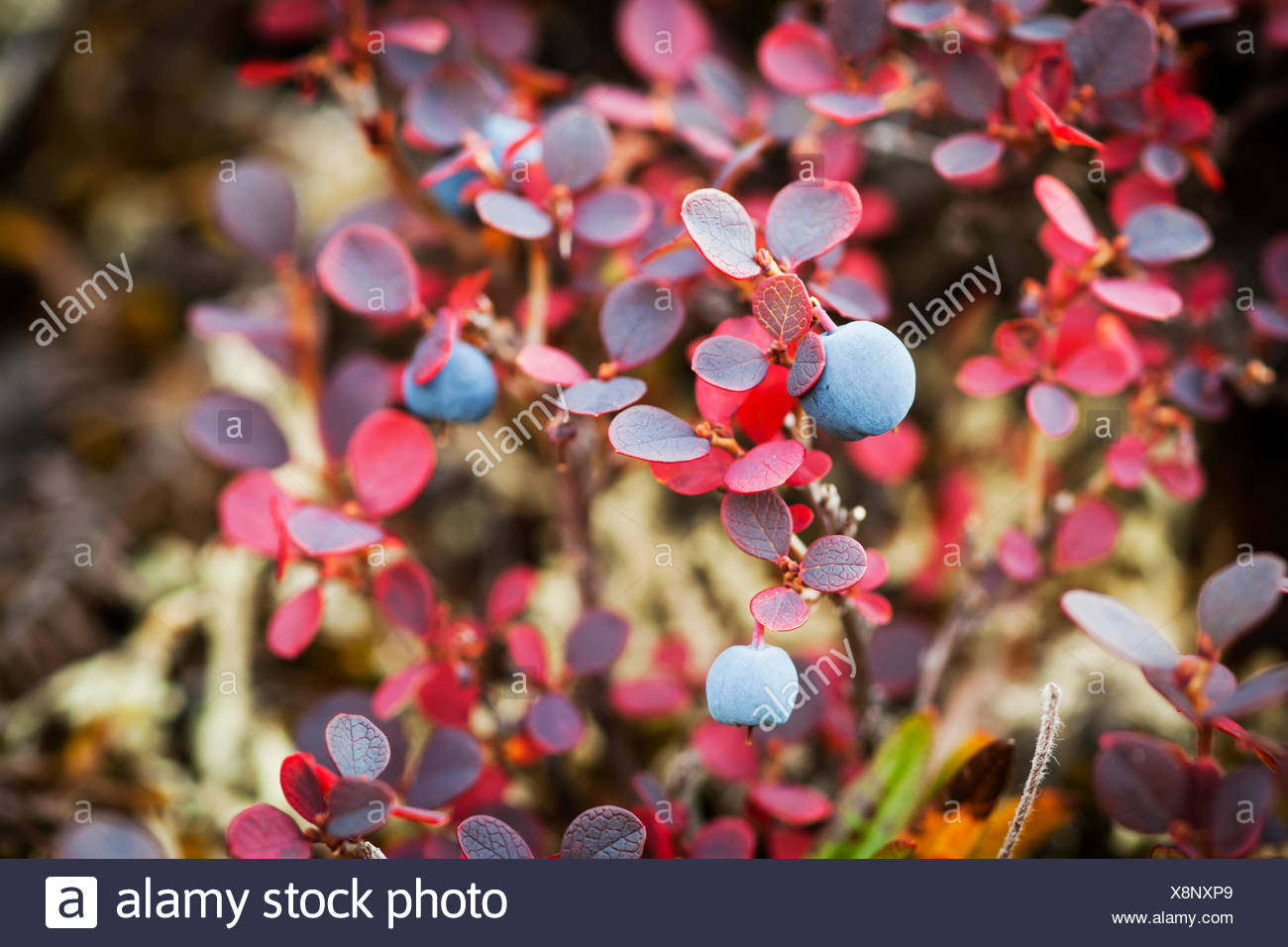 Lowbush Blueberry In Autumn Colors Near The Noatak River; Brooks Range, Alaska, United States Of America - Stock Image