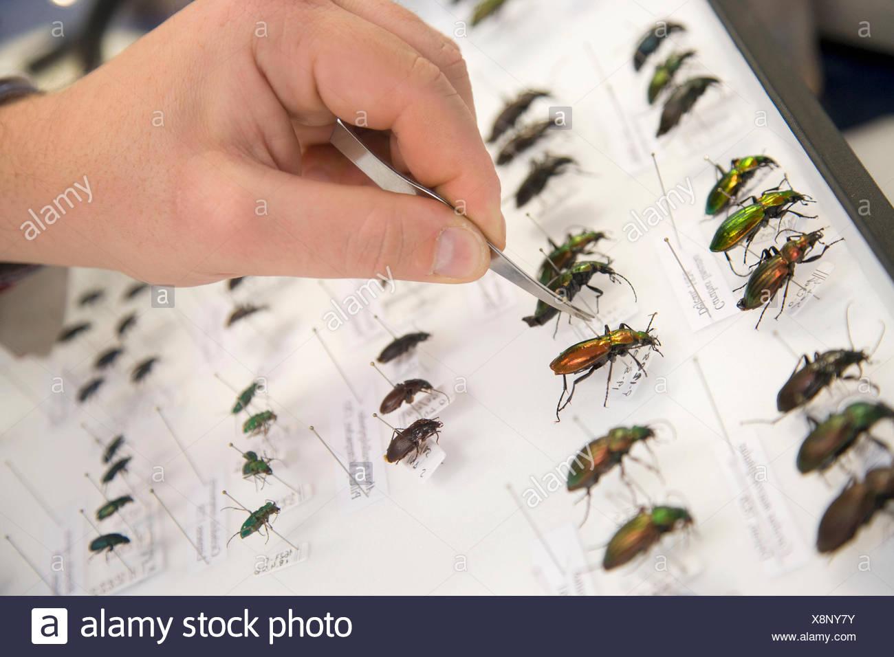 Identification of  forest beetles (Coleoptera Carabidae), Entomology box, Entomology Laboratory, Neiker Tecnalia, Instituto de - Stock Image