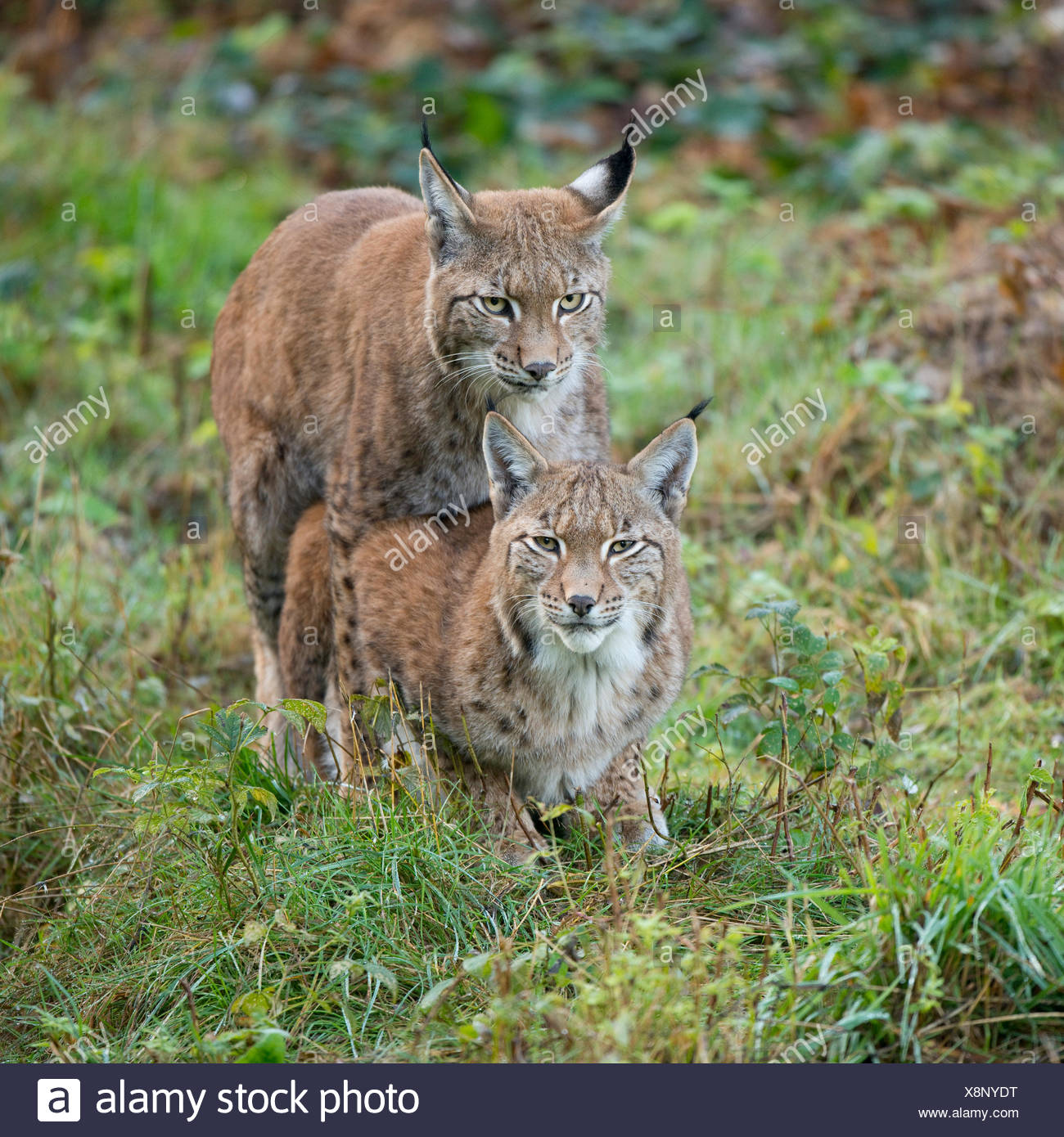 Eurasian Lynx (Lynx lynx), mating attempt of a young lynx, captive, Lower Saxony, Germany - Stock Image