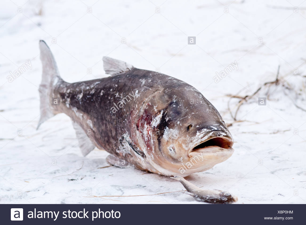 Berlin, Germany, a frozen bighead carp on the icy Lietzensee - Stock Image