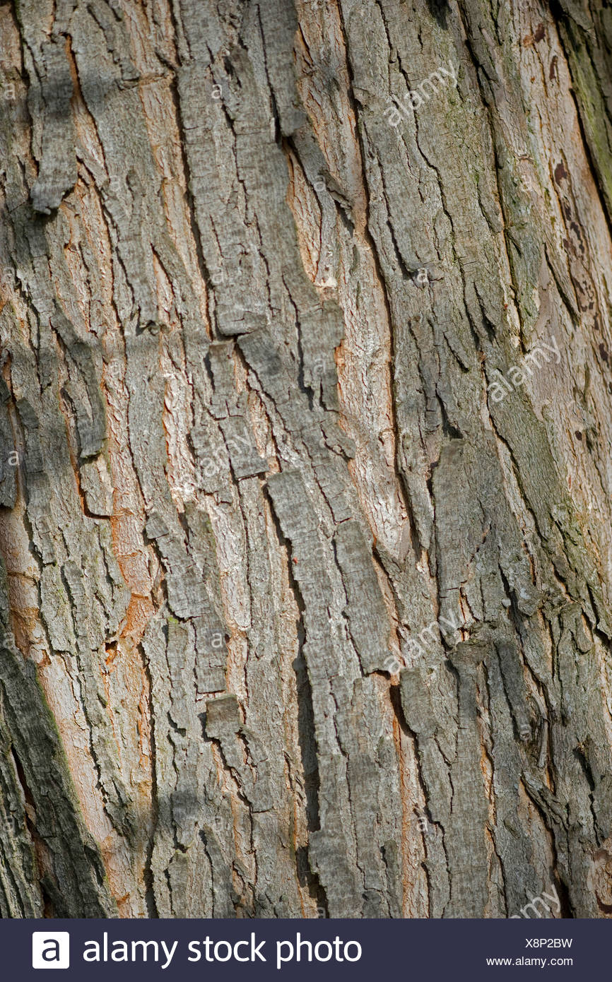 Silver Maple White Maple Birds Eye Maple Acer Saccharinum Bark