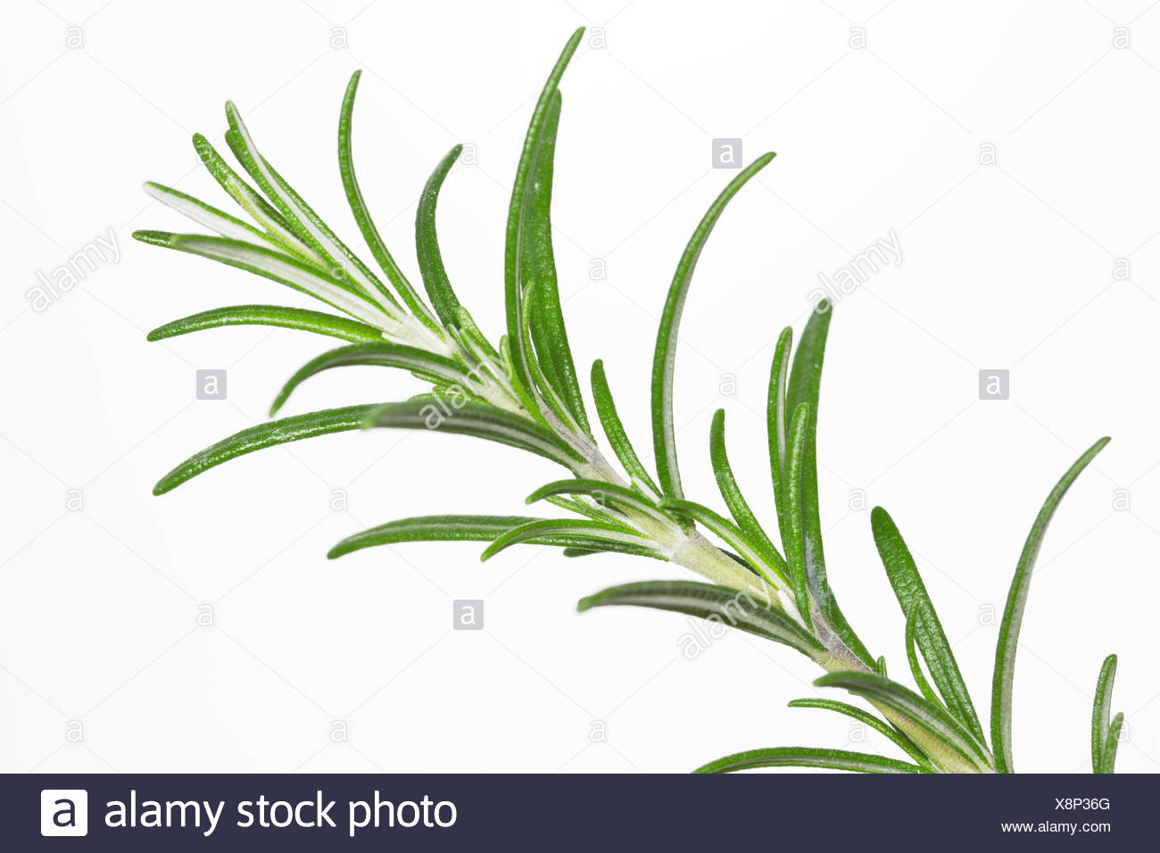 spices, culinary herbs, rosemary, herbs, spice, garden, branch, flavour, Stock Photo